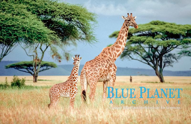 Giraffe with calf, Massai Mara Game Reserve, Kenya / (Giraffa camelopardalis tippelskirchii)