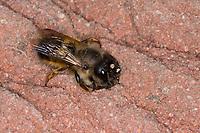 Rote Mauerbiene, Rostrote Mauerbiene, Mauerbiene, Mauer-Biene, Weibchen am Loch in einer Wildbienen-Nisthilfe, mit einem Erdklumpen für den Nestbau, Insektenhotel, Osmia bicornis, Osmia rufa, red mason bee, mason bee, female, L'osmie rousse, Mauerbienen, mason bees