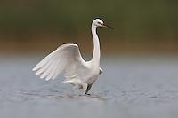 Snowy Egret (Egretta thula), East Pond, Jamaica Bay Wildlife Refuge