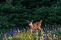 Columbian black-tailed deer (Odocoileus hemionus columbianus) fawn walking through subalpine meadow covered with wildflowers.  Pacific Northwest.  Summer.  Early morning.