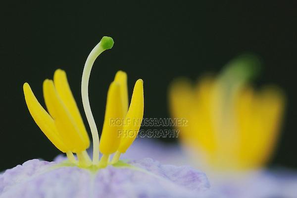 Silverleaf Nightshade (Solanum elaeagnifolium), stamen close up, Fennessey Ranch, Refugio, Coastal Bend, Texas, USA