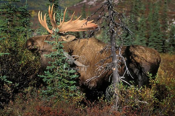 Bull Moose on tundra. (Alces alces).  Boreal forest black spruce and willows..Autumn. Alaska.