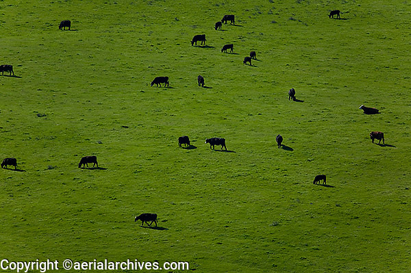 aerial view above cattle Sonoma county California