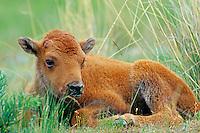 Bison calf (Bison bison) resting.  National Bison Range, MT.  Spring.