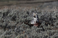 Coyote on Bison carcas, Yellowstone