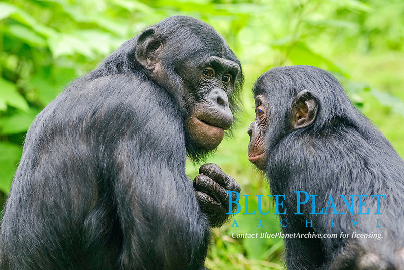 Bonobo or Pygmy Chimpanzee (Pan paniscus), female with young, in an enclosure