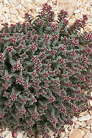 Succulent plant Ferocactus glaucescens aka Echinocactus pfeifferi