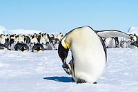 Snow Hill Island, Antarctica. Close-up Emperor Penguin preening.