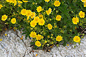 Alpine Cinquefoil (Potentilla crantzii) growing on mountainside. Nordtirol, Austrian Alps. June.