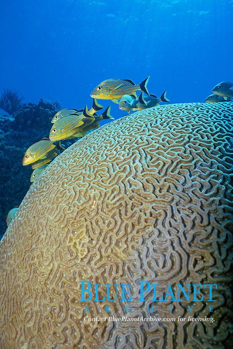 smooth brain coral, Diplora strigosa, Florida Keys, Atlantic Ocean