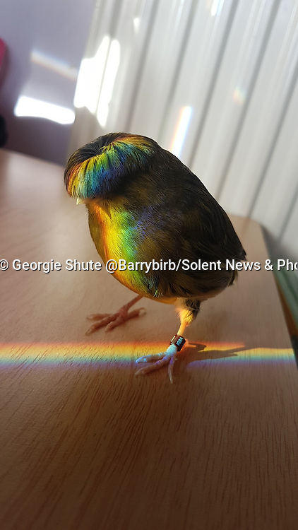 Pictured:  Georgie Shute's photo of Barry which at over 300,000 likes on twitter.<br /> <br /> A 15 year old girl and her pet canary have become unlikely social media sensations and amassed thousands of followers during lockdown.  Georgie Shute and her 'diva' Gloster Canary Barry first started to gain attention after people noticed the bird's unusual bowl style 'haircut'. <br /> <br /> The schoolgirl said that Barry, who she affectionately refers to as 'Birb', went viral after she snapped a picture of him bathed in rainbow sunlight showing off his plumage.   She posted the picture online and was instantly overwhelmed with messages - and her Instagram account 'barrybirb' now has just under 11,000 followers.   SEE OUR COPY FOR DETAILS.<br /> <br /> © Georgie Shute @Barrybirb/Solent News & Photo Agency<br /> UK +44 (0) 2380 458800