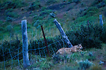 Mountain Lion (Puma concolor) six month old kitten squeezing under fence, Torres del Paine National Park, Patagonia, Chile