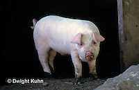 SH11-016z  Pig - in barn