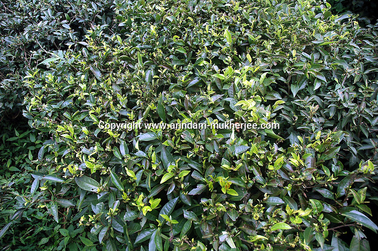 INDIA (West Bengal - Darjeeling) June 2007,Tea bush at the Makaibari Tea Estate. Makaibari produces the most expensive tea in the world. They produce the tea organically (without using any fertilizers or spraying pesticides)through permaculture.  Makaibari is situated at the misty foot hills of Darjeeling Himalayas - Arindam Mukherjee
