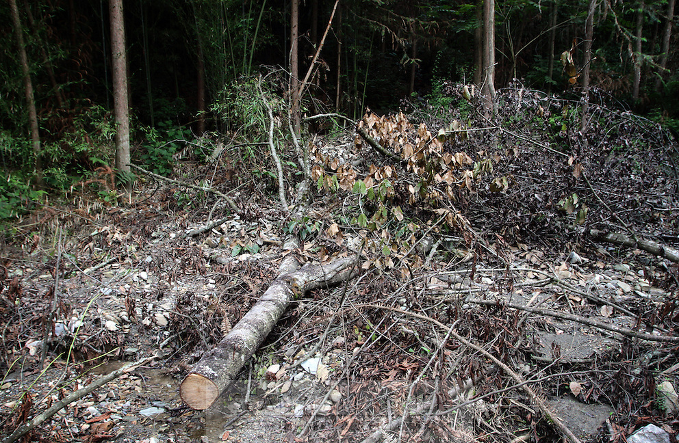 Recently cut trees in a forest in Pingwu County in Sichuan Province, south-west China.