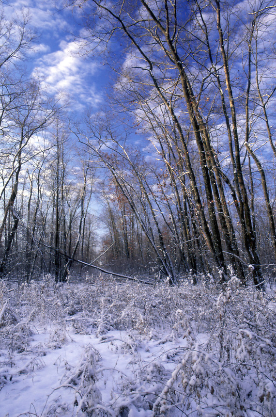 IA43D30 winter trees at Marilie Educational Forest with fresh snow. Frankville, Iowa, Winneshiek County.