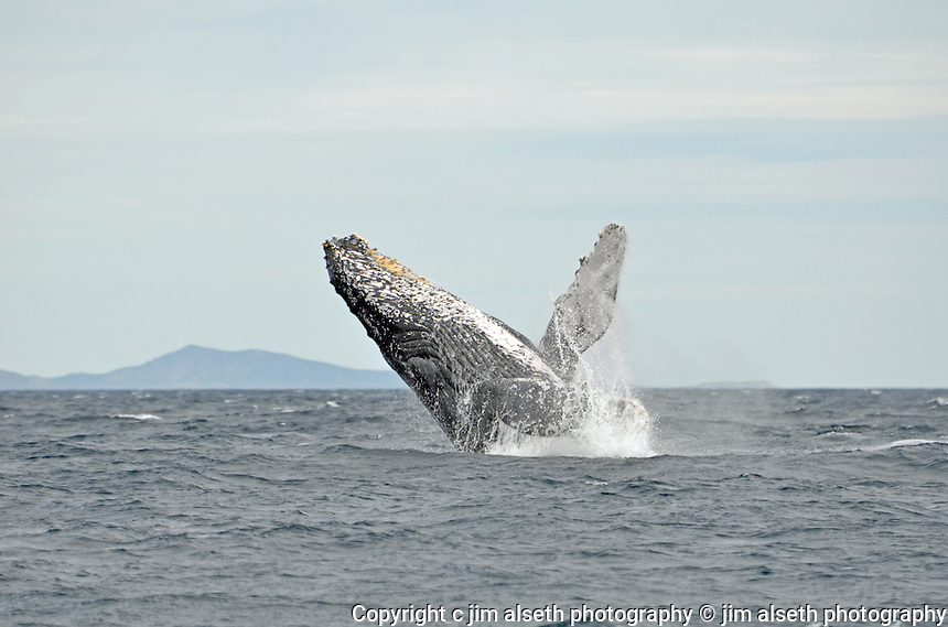 January and February is prime Humpback Whale migration season in Los Cabos... Affordable stock photos with animal photos, wildlife photos and bird photos.