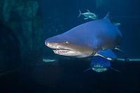 Sand Tiger Shark (Carcharias taurus) (c) .