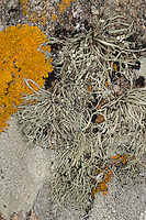 Grüngraue Astflechte, Flechte, Strauchflechte auf Küstenfelsen am Atlantik, Ramalina spec., Ramalina cf. siliquosa, sea ivory, Sea Ivory Lichen on rocks and stone walls on coastland