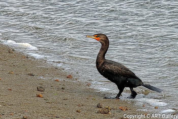 Double-Crested cormorant, Bolsa Chica, CA.