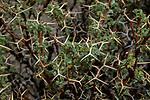 Adesmia (Adesmia sp) shrub, Abra Granada, Andes, northwestern Argentina