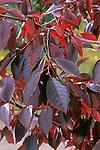 12764-CC Canadian Red Chokecherry Tree branch, Prunus virginiana, in October, at Mourning Cloak Ranch, & Botanical Garden, Tehachapi, CA USA.
