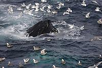 Humpback whale (Megaptera novaeangliae) bubble net feeding on Capelin and krill Spitzbergen Arctic Norway Kittywakes and Fulmars feeding alongside