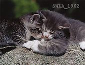 Carl, ANIMALS, photos(SWLA1962,#A#) Katzen, gatos