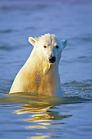 polar bear cub, Ursus maritimus, in water, Arctic National Wildlife Refuge, Alaska, Arctic Ocean, polar bear, Ursus maritimus