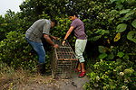 Fishing Cat (Prionailurus viverrinus) biologists, Maduranga Ranaweera and Anya Ratnayaka, setting up box trap for collaring in urban wetland, Urban Fishing Cat Project, Diyasaru Park, Colombo, Sri Lanka