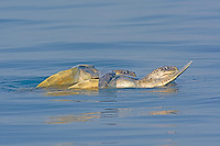 olive ridley sea turtle, Lepidochelys olivacea, vulnerable species, mating on the sea surface, Rushikulya Rookery, Ganjam Coast, Odisha, India, Bay of Bengal, Indian Ocean