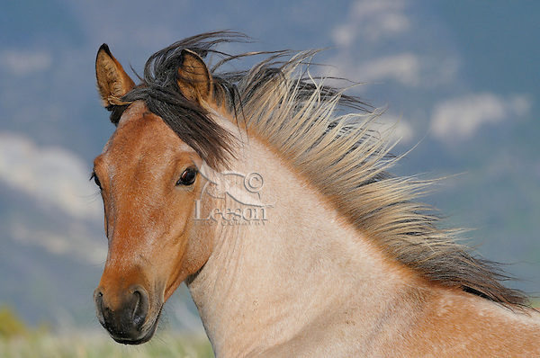 Wild Horse or feral horse (Equus ferus caballus).  Western U.S., summer.  This is a young two year old mare.