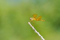 304570018 a wild male mexican amberwing perithemis intensa perches on a dead stick in yuma county arizona