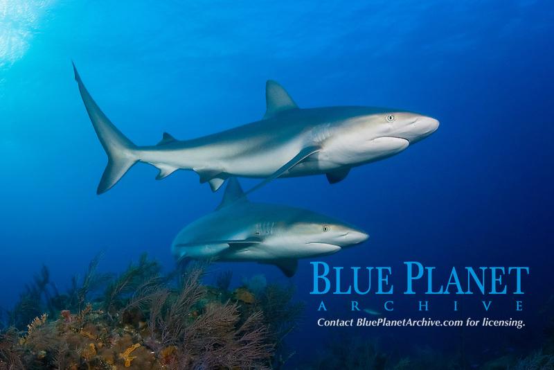 A pair of Caribbean reef sharks, Carcharhinus perezii, Little Bahama Bank, Bahamas, Atlantic Ocean