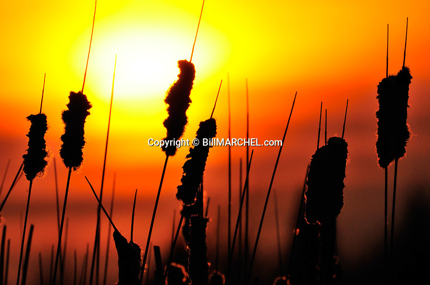 01090-050.11 Sunset with cattails in the foreground.  Marsh, wetland.