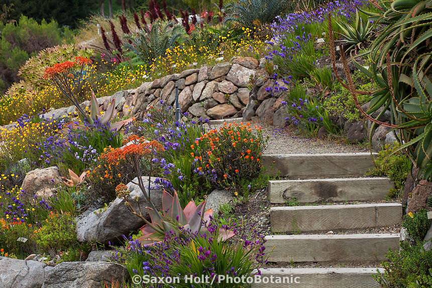 Steps and path through South African section of University of California Berkeley Botanical Garden in spring