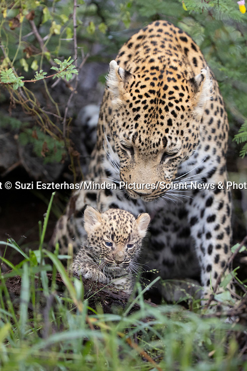 Pictured:  The leopard with her cub.<br /> <br /> A protective leopard hides her young cub in a lodge before going off to hunt.  The mother keeps her offspring safe from predators by leaving the cub in the camp shelter.<br /> <br /> She tucks the two week old cub in a den-like spot behind the sink before scouring the area for food.  Photographer Suzi Eszterhas spotted the small leopard on the bathroom floor of the lodge in Jao Reserve, Botswana.  SEE OUR COPY FOR DETAILS.<br /> <br /> Please byline: Suzi Eszterhas/Minden Pictures/Solent News<br /> <br /> © Suzi Eszterhas/Minden Pictures/Solent News & Photo Agency<br /> UK +44 (0) 2380 458800