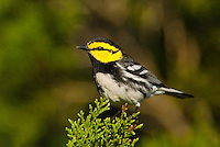 591850022 a wild federally endangered male golden-cheeked warbler setophaga chrysoparia - was dendroica chrysoparia - perches in a fir tree on los madrones ranch near austin travis county texas