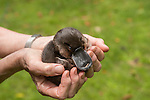 Margit Cianelli wildlife carer and real life Doctor Doolittle takes care of a baby platypus that walked into a caravan park after the floods. Margit was called to care for it.