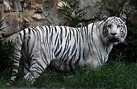 CALI - COLOMBIA - 27 - 09 – 2017: Tigre de Bengala (Panthera Tigris), especie de felino en el Zoologico de Cali, en el Departamento del Valle del Cauca.  / Bengal Tiger (Panthera tigris), a feline species at the Cali Zoo, in the Department of Valle del Cauca. / Photo: VizzorImage / Luis Ramirez / Staff.
