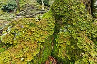 Réserve naturelle nationale de la forêt de la Massane, Lobaria pulmonaria, lichen bon indicateur des forêts anciennes et de la pollution atmosphérique