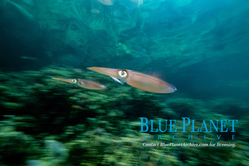 Caribbean reef squid showing jet propulsion, Sepioteuthis sepioidea, Venezuela. Atlantic Ocean