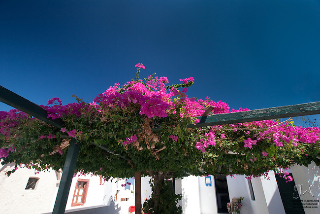 Trellis in Oia crowded with Pruple Bouganvillia flowers.