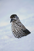 Spotted Nutcracker (Nucifraga caryocatactes), adult searching for stored food in snow by minus 15 Celsius, Davos, Switzerland, December 2007