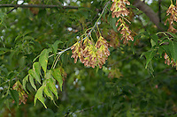 Eschen-Ahorn, Eschenahorn, Eschenblättriger Ahorn, Acer negundo, Acer fraxinifolium, Negundo fraxinifolium, Box elder, boxelder maple, ash-leaved maple, maple ash, ashleaf maple, L'Érable negundo, Érable négondo, Érable à giguère