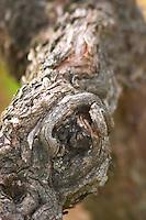 An old vine with gnarled wrinkled bark, detail  Chateau Bouscaut Cru Classe Cadaujac  Graves Pessac Leognan  Bordeaux Gironde Aquitaine France