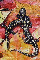 SL01-112x  Salamander - spotted salamander adult on autimn leaves - Ambystoma maculatum