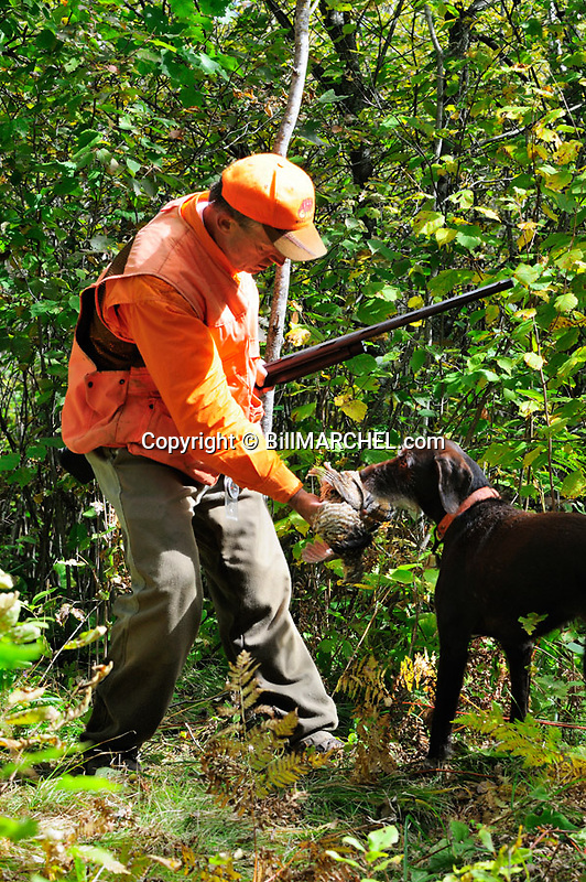 00515-074.08 Ruffed Grouse hunter takes bird from dog pudelpointer on edge of heavy early season cover.  Hunt, aspen, retrieve.