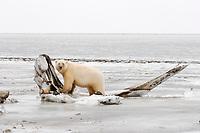 polar bear, Ursus maritimus, standing on a bowhead whale, Balaena mysticetus, jawbone, 1002 area of the Arctic National Wildlife Refuge, Alaska, polar bear, Ursus maritimus