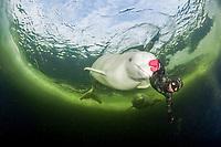 Free diver with Beluga whales, Delphinapterus leucas swimming under ice, Arctic circle Dive Center, White Sea, Karelia, northern Russia